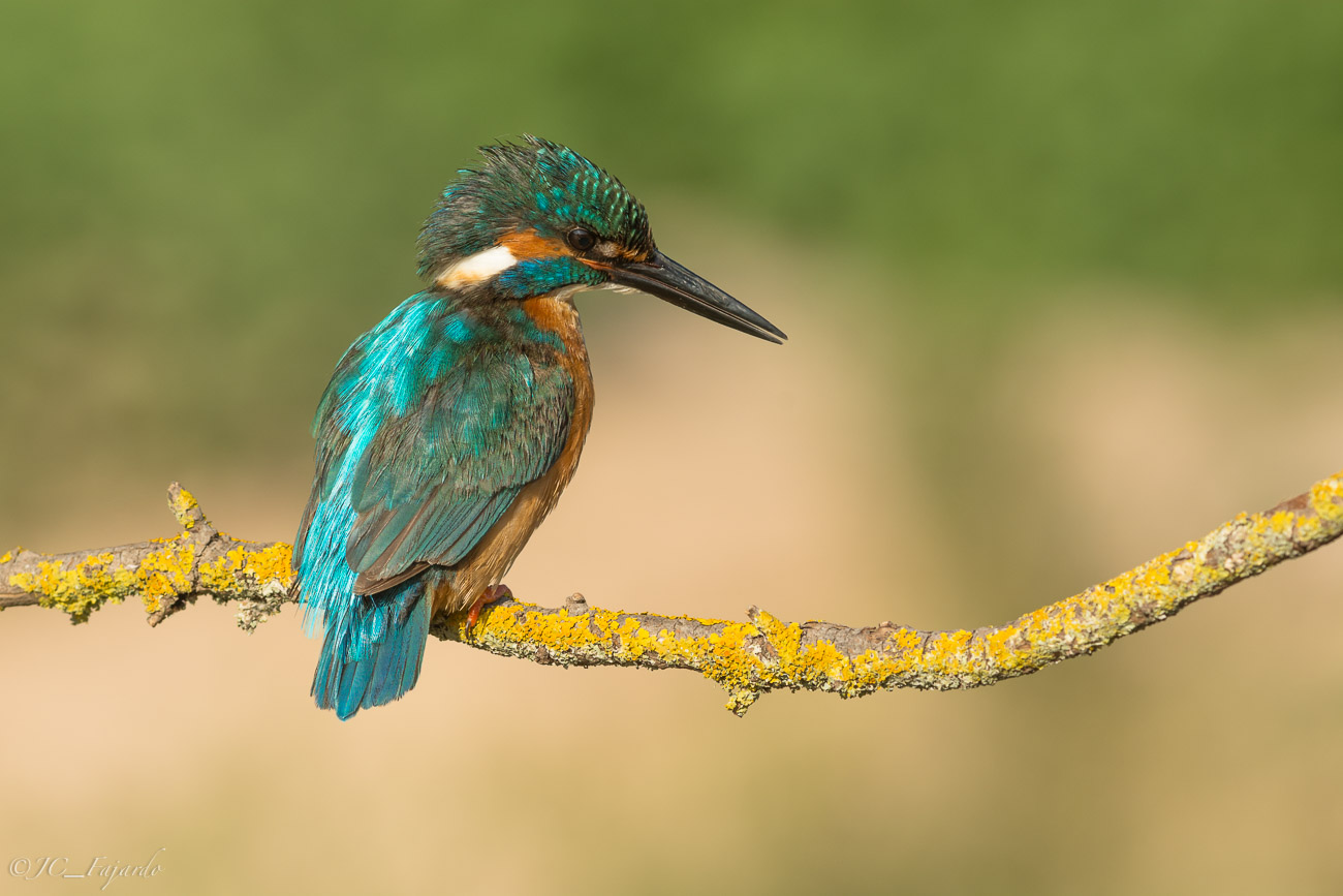 Martin Pescador, Common Kingfisher, Alcedo atthis