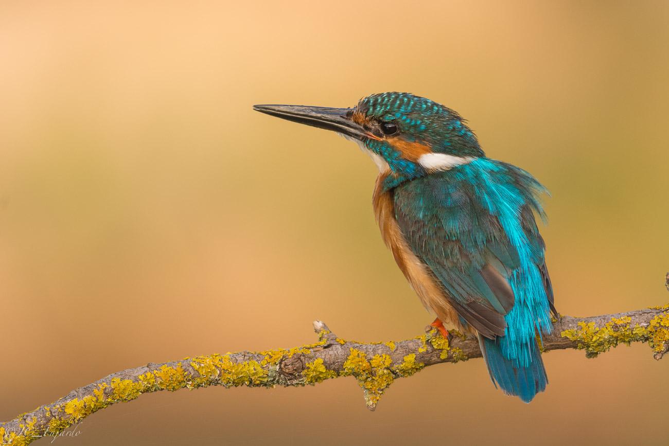 Martín Pescador, Common Kingfisher, Alcedo atthis