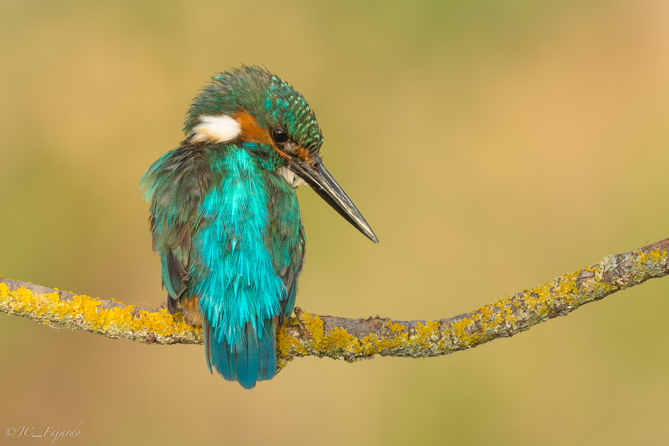 Martín Pescador, Common Kingfisher, Alcedo atthis
