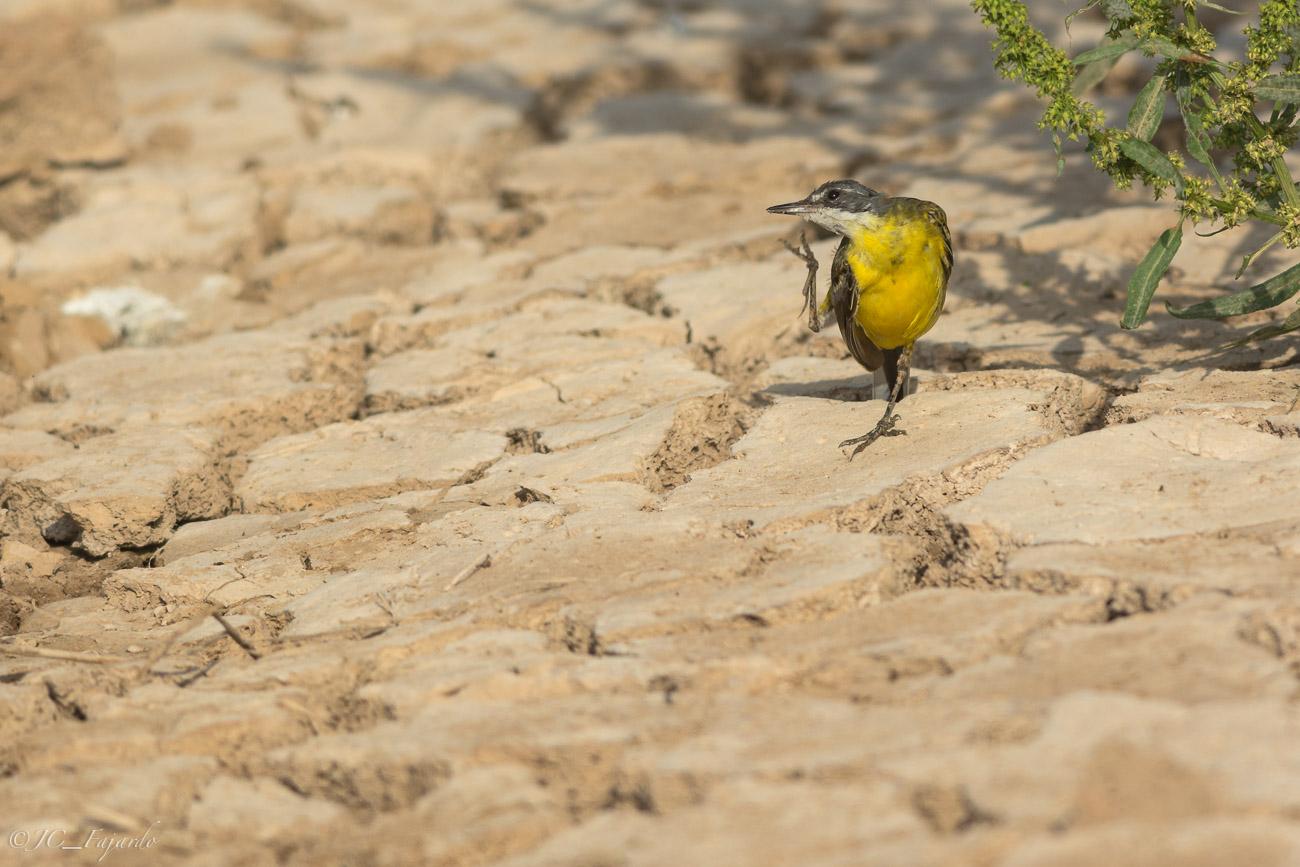 Lavandera boyera, Yellow wagtail, Motacilla flava