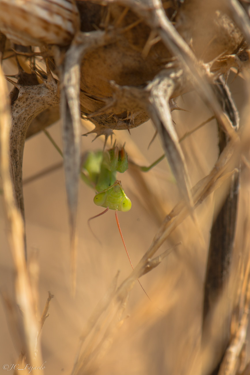 Mantis regliosa / European Mantis