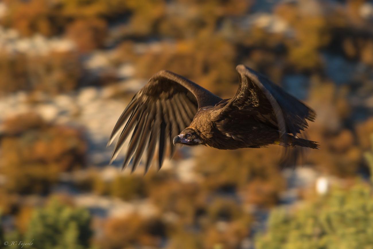 Buitre negro / Black vulture / Aegypius monachus
